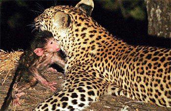 leopardoybabuino2.jpg