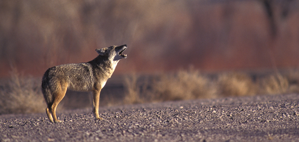 Coyote_Gerrit_Vyn